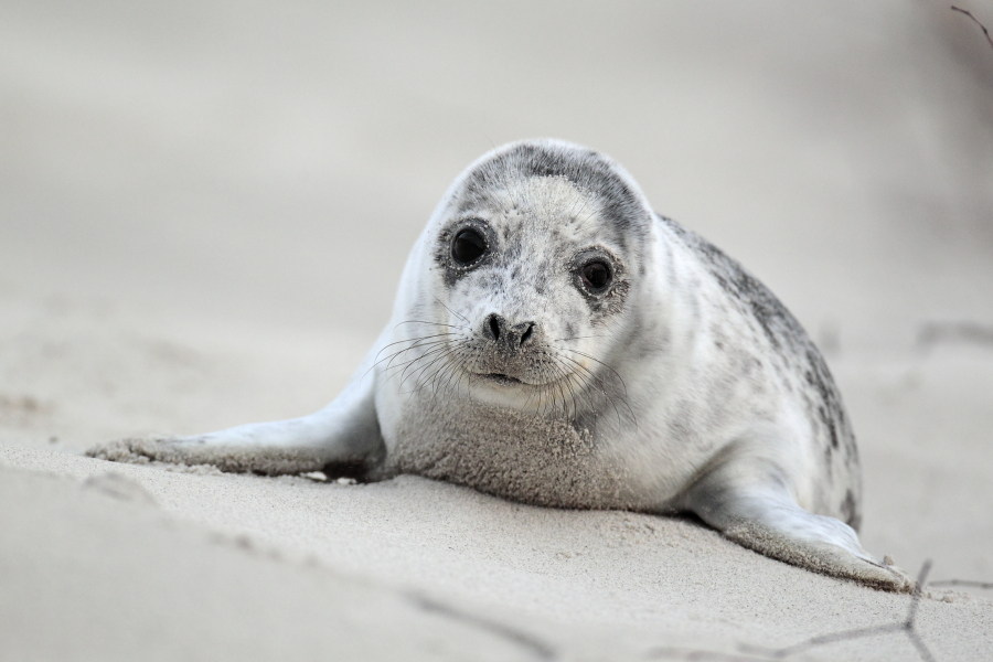 Seehund Phoca vitulina Common Seal
