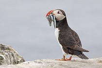 Papageitaucher auf den Farne Islands, Nordostengland
