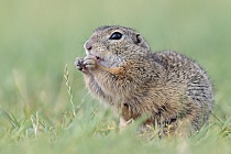 Ziesel Spermophilus citellus Ground Squirrel